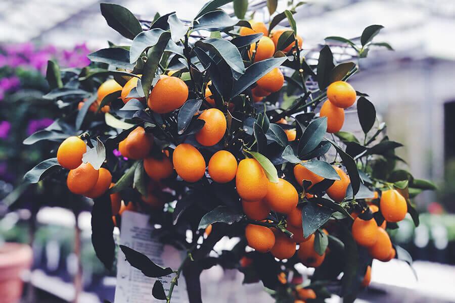 mandarijnenboom - plant