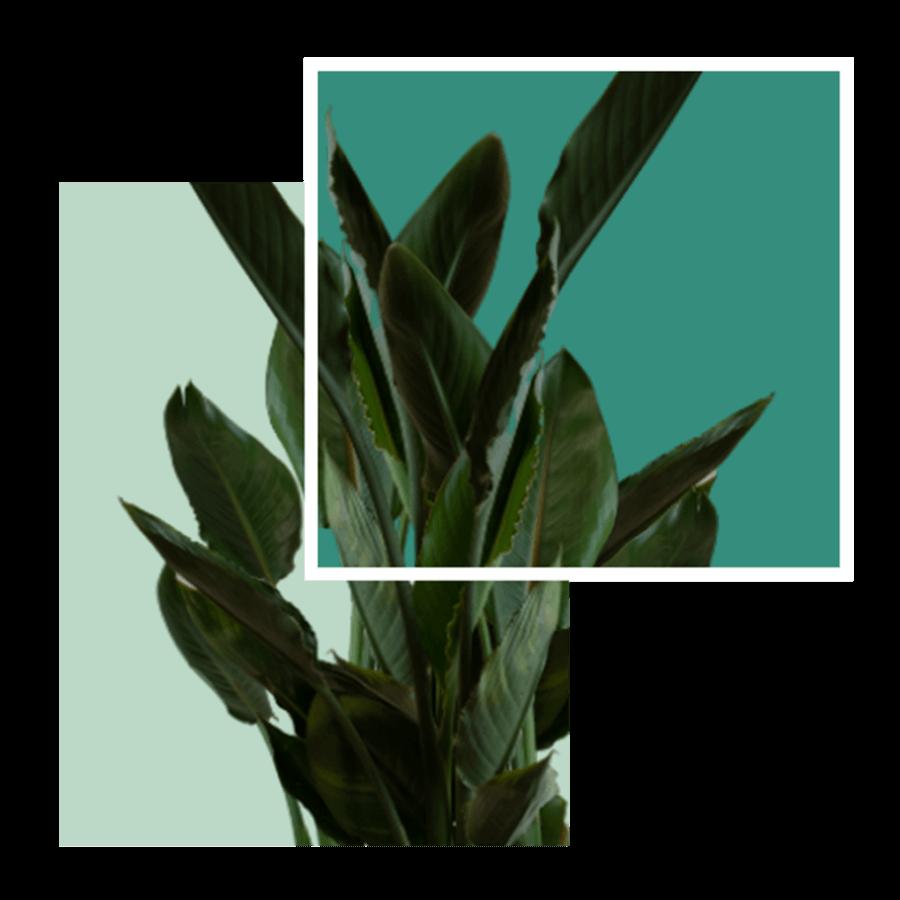 Plant - strelitzia reginae