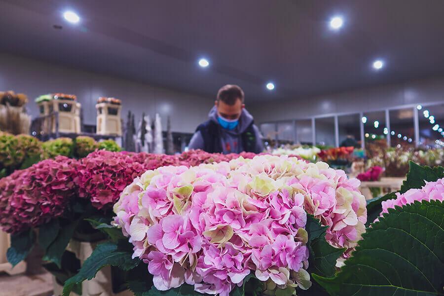 Groothandel Bloemen - verse bloemen - filiaal Agora - Cash & Carry - hortensia