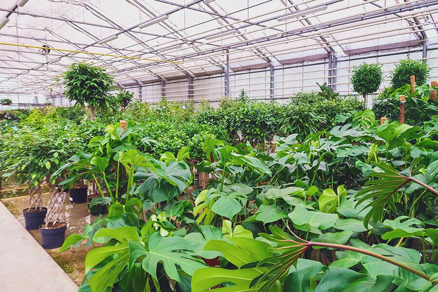 Monsteras in cash & carry locatie groothandel planten