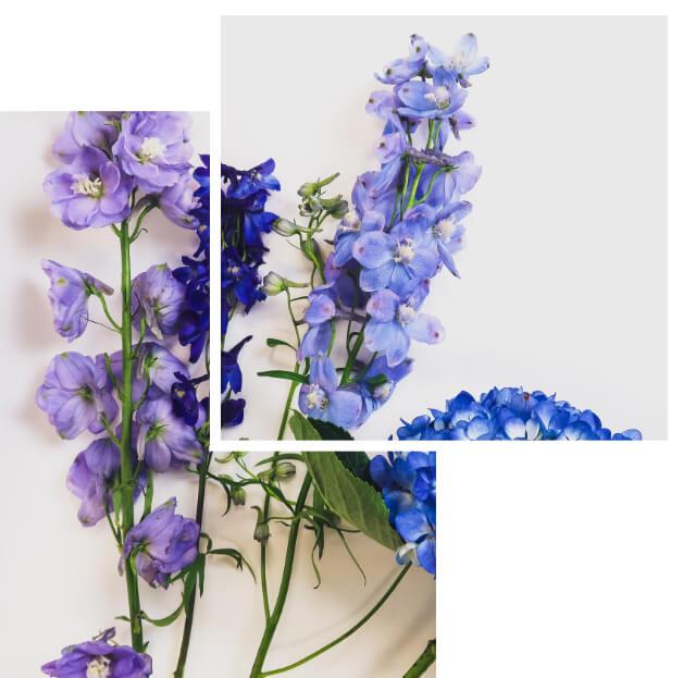 paarse lysanthium - Agora Group